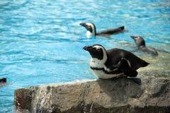 Pinguino nella sosta dell'uccello Fotografia Stock Libera da Diritti