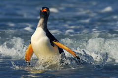Pinguino nelle onde blu Il pinguino di Gentoo, uccello acquatico salta dell'acqua blu mentre nuota attraverso l'oceano in Falklan Fotografia Stock