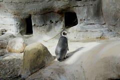 Pinguino nello zoo Fotografia Stock Libera da Diritti