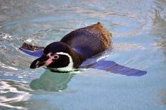 Pinguino nero Immagini Stock
