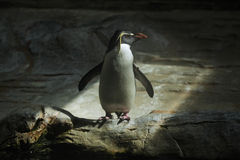 Pinguino nordico del rockhopper (moseleyi del Eudyptes) Fotografia Stock Libera da Diritti