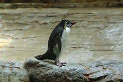 Pinguino nordico del rockhopper (moseleyi del Eudyptes) Fotografia Stock