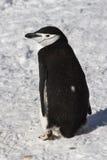 Pinguino o sottogola antartico che vanno da parte a parte Fotografia Stock