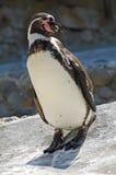 Pinguino posato nel sole Fotografie Stock