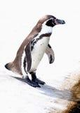 Pinguino pronto a saltare dentro Immagini Stock Libere da Diritti