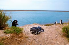 Pinguino a Punta Delgada in PenÃnsula Valdés Fotografia Stock
