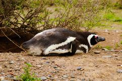 Pinguino a Punta Delgada in PenÃnsula Valdés Immagini Stock