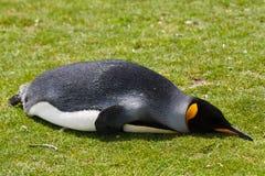 Pinguino di re Fotografia Stock