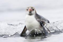 Pinguino reale (schlegeli del Eudyptes) che viene fuori l'acqua Fotografia Stock