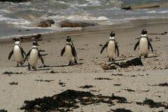 Pinguino \ 's sulla spiaggia Fotografia Stock Libera da Diritti