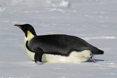 Pinguino scivolante Fotografia Stock