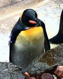 Pinguino sereno immagini stock