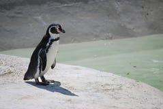 Pinguino solo Fotografie Stock Libere da Diritti