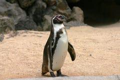 Pinguino solo Fotografia Stock Libera da Diritti