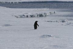 Pinguino solo del adelie Immagini Stock