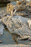 Pinguino su una spiaggia rocciosa Immagine Stock