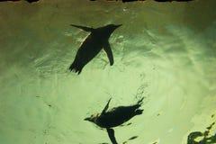 Pinguino subacqueo Fotografia Stock Libera da Diritti