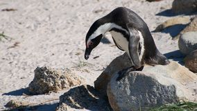 Pinguino sudafricano Immagini Stock