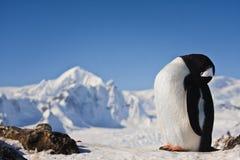 Pinguino sulla roccia Fotografie Stock