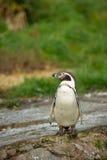 Pinguino sulla roccia fotografie stock libere da diritti