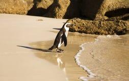 Pinguino sulla spiaggia dei massi fotografie stock