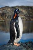 Pinguino sulle rocce Fotografie Stock Libere da Diritti