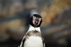 Pinguino sveglio che fissa alla macchina fotografica immagine stock