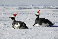 Pinguinpaare am Weihnachtstag Stockfoto