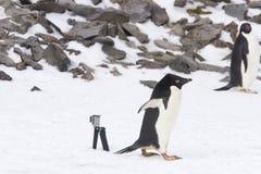 Pinguinpaparazzi Stockfoto