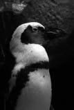 Pinguinporträt Lizenzfreies Stockfoto
