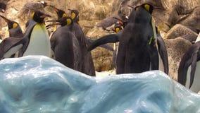 Pinguins在动物园里 股票视频