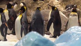 Pinguins στο ζωολογικό κήπο απόθεμα βίντεο