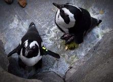 pinguins imagem de stock