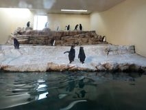 Pinguins Arkivbild