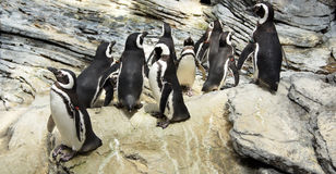 Pinguins Stock Image