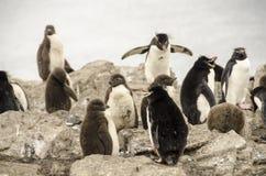 pinguins Imagens de Stock Royalty Free