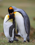 Pinguins Foto de Stock Royalty Free