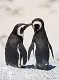 Pinguins Stock Photography