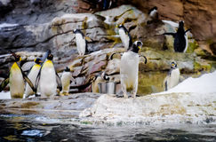 pinguins Foto de Stock Royalty Free