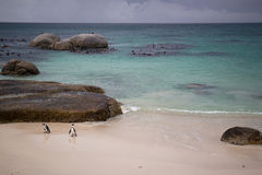 Pinguins! foto de stock