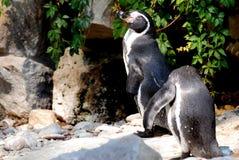 Pinguins Стоковое Изображение RF