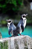 Pinguins fotografia de stock royalty free
