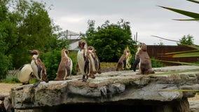 7 pinguins fotografia de stock royalty free