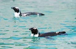Pinguins africanos imagens de stock royalty free