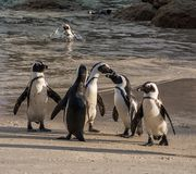 Pinguins africanos fotos de stock