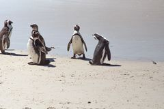 Pinguins africanos imagem de stock royalty free