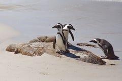Pinguins africanos fotografia de stock