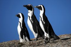 Pinguins africanos Foto de Stock Royalty Free