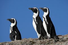Pinguins africanos Foto de Stock