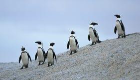 Pinguins africanos Fotos de Stock Royalty Free